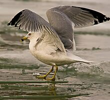 Ring-billed Gull on Icy Lake Ontario by KatMagic Photography
