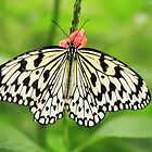 Tree Nymph Butterfly by Peter Edwards
