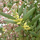 wonga vine & wattle by GrowingWild