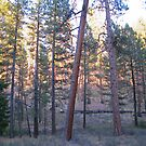 ponderosa forest 2 by Bruce  Dickson