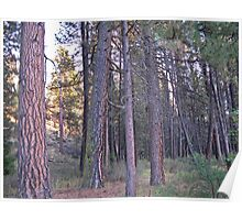 ponderosa forest Poster