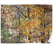 golden hickory in woodland path Poster