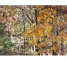 golden hickory in woodland path Photographic Print