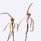 Twin Spider Orchids by Janette Rodgers