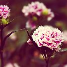 Pink carnations by Vicki Field