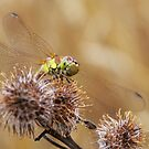 Common Darter by AngelaFoster