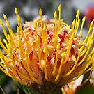 KINGS PARK PROTEA by FLYINGSCOTSMAN