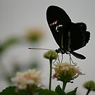 Butterfly! by Tibbs