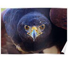 Look Into My Eyes......Harris Hawk Portrait Poster