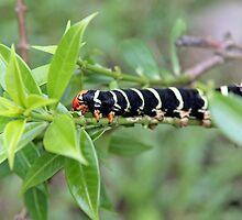 Caterpillar by Matt Becker