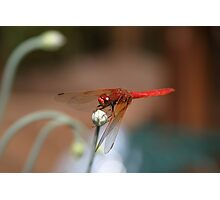 Red Dragon Photographic Print