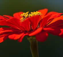 Red Dahlia-A Bee's Eye View by onyonet photo studios