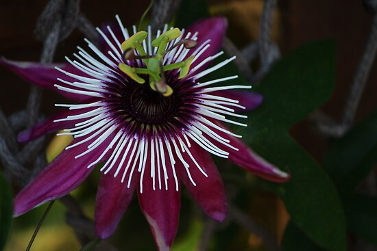 Passion Flower by karina5