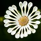 White Spoon Osteospermum by onyonet photo studios