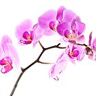 Pink Orchids 2 by onyonet photo studios