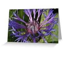 Centaurea  Greeting Card