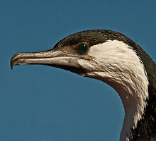 Black faced cormorant by themacs