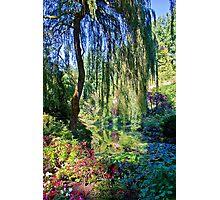 Willow. Photographic Print