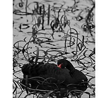 Red in the reeds Photographic Print