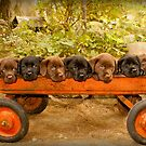 Designer Labrador Puppies! First published in 2012 by DennisThornton