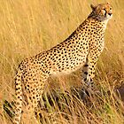 Masai Mara Cheetah by Roger  Mackertich