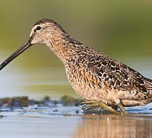Long-billed dowitcher  by ruth  jolly
