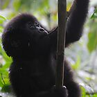 Mountain Gorillas of Rwanda. by Roger  Mackertich