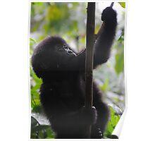 Mountain Gorilla of Rwanda Poster