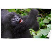 Mountain Gorilla baby playing. Poster