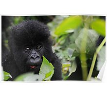 Baby Mountain Gorilla Poster