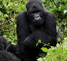 Silverback on alert. by Roger  Mackertich
