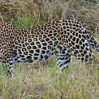 Leopard out and about. by Roger  Mackertich