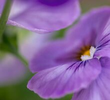 perfectly pansy by Teresa Pople