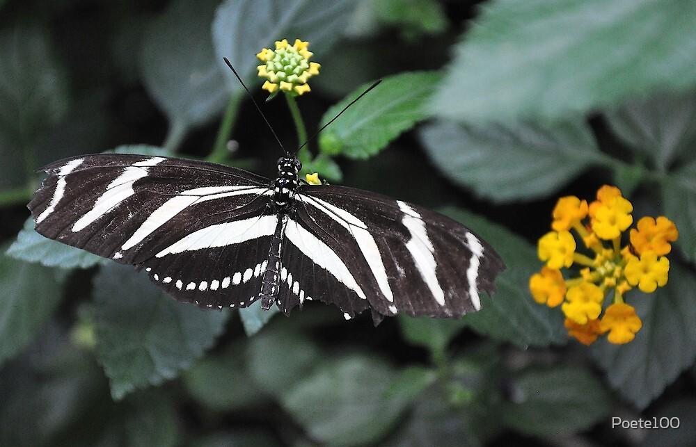 Zebra Longwing by Poete100