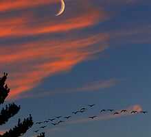 Canada Geese in the Crescent Moon by Steve Anthony