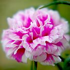 Pink Rose Moss by Rainy