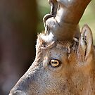 Male mountain ibex by neil harrison