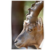 Male mountain ibex Poster