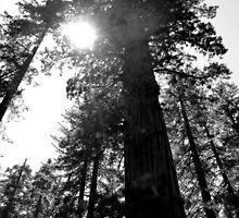 Giant sequoias - Yosemite National Park by Federica Gentile