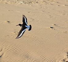 Oystercatcher in flight by missmoneypenny