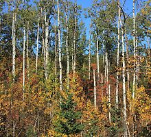 Aspen Autumn by Jim Sauchyn