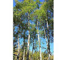 Aspen Poplar Trees Photographic Print