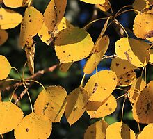 Aspen Poplar Leaves in Autumn by Jim Sauchyn