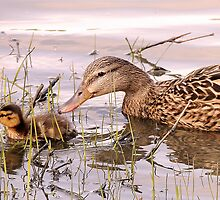 Momma Mallard and Babe by Lisa McIntyre