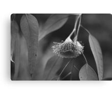 Silver Princess Eucalyptus Canvas Print