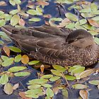 Sleeping duck by Eunice Gibb