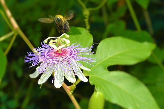 The Passion Flower And The Bee by Dawne Dunton