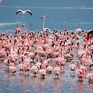 Lesser Flamingos, Lake Bogoria, Kenya by Neville Jones