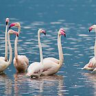 Greater Flamingos, Lake Bogoria, Kenya by Neville Jones
