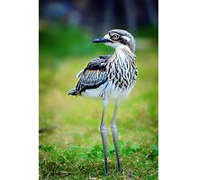 Baby Curlew... Photographic Print